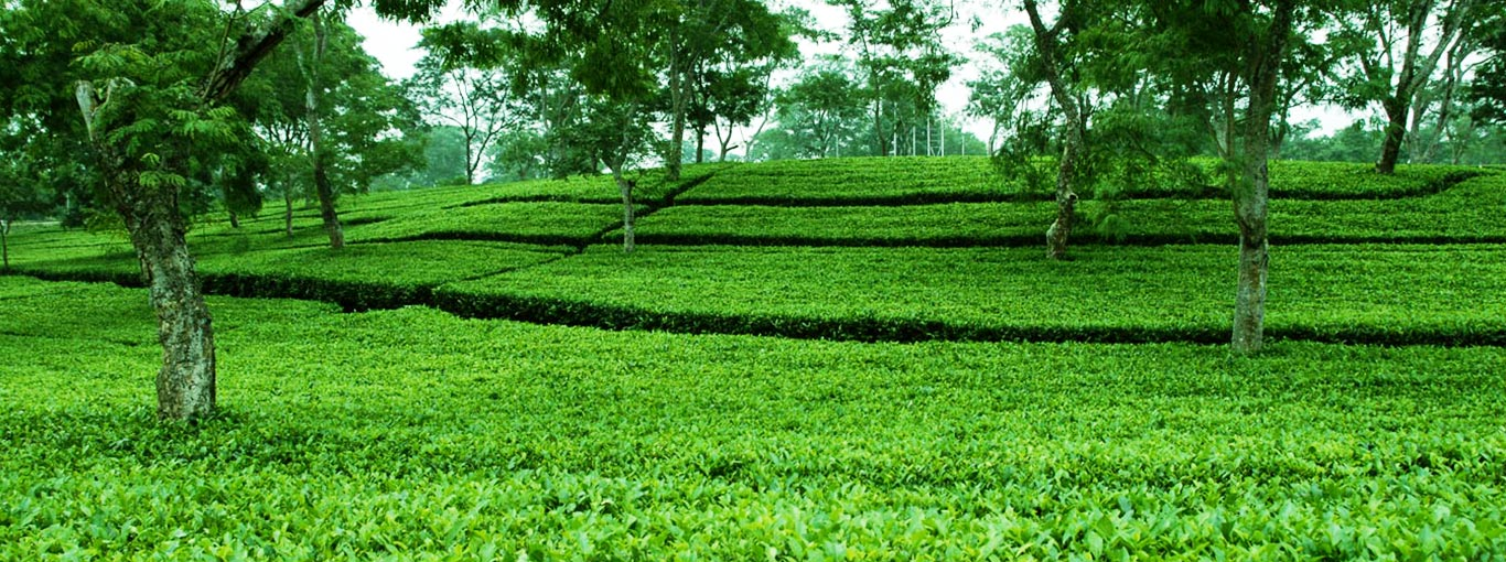 Ceylon Tea - Best of the World